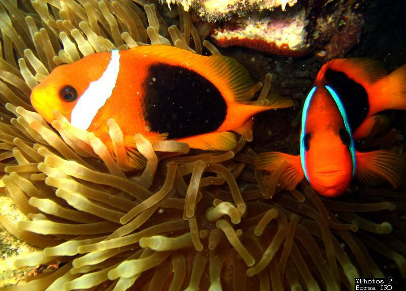 BdC nord - Poissons clowns Amphiprion melanopus