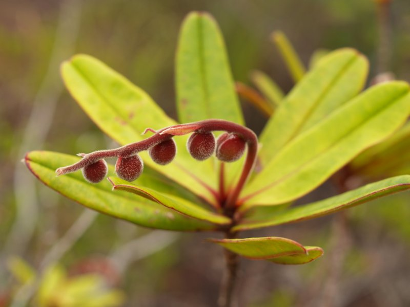 Hibbertia trachyphylla