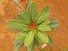 Xanthostemon aurantiacum