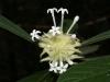 Psychotria sp