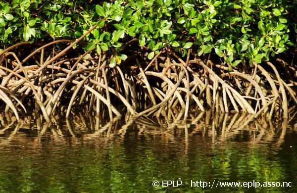 Mangrove004.jpg