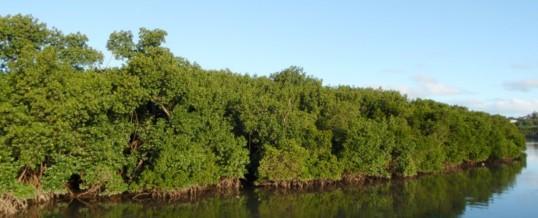Aux amoureux de la mangrove