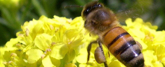 Les abeilles en sursis ?