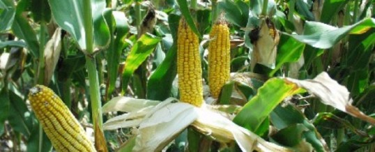 OGM et maïs VTH en Nouvelle-Calédonie ou le quiproquo volontairement entretenu…